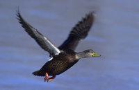 American_black_duck
